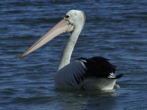 Google Pelican