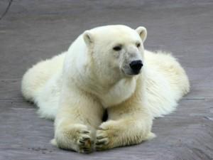 Google Polar Bear